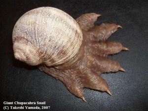 chupacabra-snail